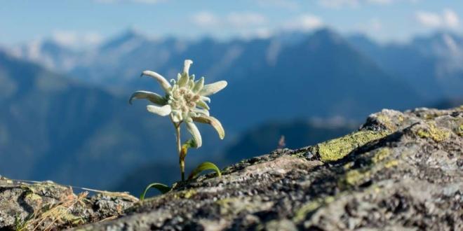 floare de colt edelweiss