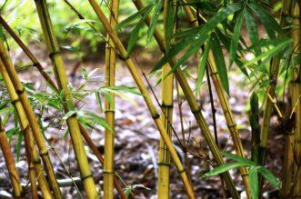 Bambusul. Avantajele utilizării produselor din bambus sau tratate cu bambus